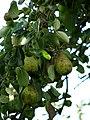 Ripe pears in a garden - geograph.org.uk - 556290.jpg