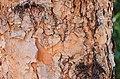 River Birch Betula nigra Bark.jpg