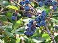 Rochester blueberries.JPG