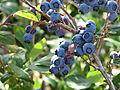 Rochester blueberries.JPG