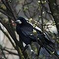 Rook (Corvus frugilegus) (16964849507).jpg