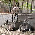 Rook goat.jpg