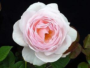 Rosa 'Heritage' J3.JPG