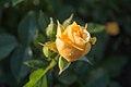 Rosa 'Julia Child' IMG 0177.jpg