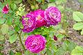 Rosa 'Wild Blue Yonder' 2.jpg