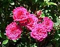 Rosa Dancing Jewel 1.jpg