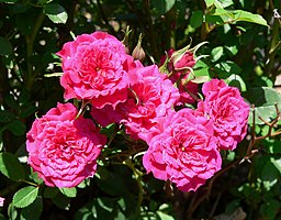 Rosa Dancing Jewel 1