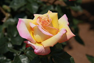 Rosa Peace - Rosa 'Madame A. Meilland' (Peace)