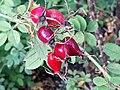 Rosa elliptica hortus Leiden.jpg