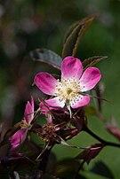 Rosa glauca 1-2606.jpg