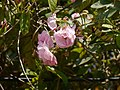 Rosa multiflora Thunb. (32412508903).jpg