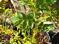 Rosa pimpinellifolia 6 Wolfgang.jpg