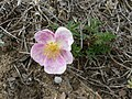 Rosa spinosissima inflorescence (04).jpg
