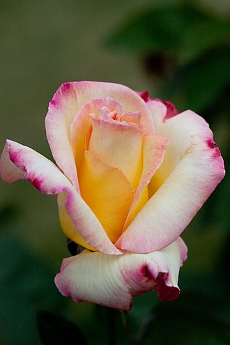 Rosa 'Garden Party' - A 'Garden Party' bud opening