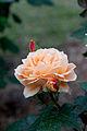 Rose, Manyo - Flickr - nekonomania (10).jpg