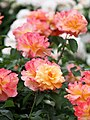 Rose, Souvenir 'd Anne Frank, バラ, スヴニール・ドゥ・アンネ・フランク, (12847081654).jpg