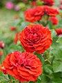 Rose, Valentina Cortese, バラ, ヴァレンティナ コルテーゼ, (15876073956).jpg