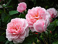 Rose Pink Stream バラ ピンク・ストリーム (6792082512).jpg