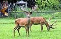 Rosegg Wildpark Cervus elaphus 07062007 01.jpg