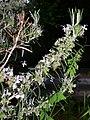 Rosmarinus officinalis 001.jpg