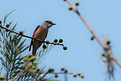 粉红山椒鸟