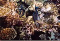 Rotes Meer Ägypten Makadi Bay Korallenriff - Schnorcheltiefe - panoramio.jpg