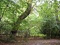 Roydon Woods, south of Brockenhurst Park, New Forest - geograph.org.uk - 62528.jpg