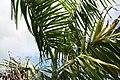 Roystonea regia var. maisiana 8zz.jpg