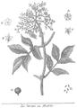 Rozier - Cours d'agriculture, tome 5, pl. 18, sureau ou hieble.png