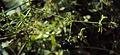 Rubia Cordifolia 12.JPG