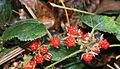 Rubus buergeri in Mount Hongu 2011-01-02.jpg