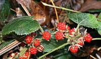 Rubus buergeri in Mount Hongu 2011-01-02