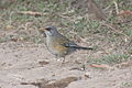 Rufous-backed Thrush -Grayson's.jpg