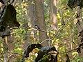 Rufous-bellied Niltava - Niltava sundara - P1030479.jpg