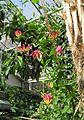 Ruhmeskrone (Gloriosa superba).jpg