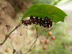 Smilax - Blue admiral (Kaniska canace) caterpillar on China smilax (S. china)