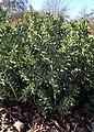 Ruscus aculeatus kz01.jpg