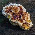 Ryvardenia campyla (Berk.) Rajchenb 260431.jpg