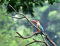 STORK-BILLED KINGFISHER I3 IMG 5422.jpg