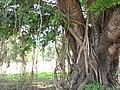 Sacred tree in Goa, INdia.jpg