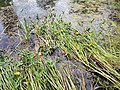Sagittaria sagittifolia sl2.jpg