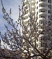 Sakura in Baku..jpg
