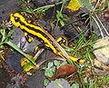 Salamandra salamandra ap2005.jpg