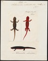 Salamandra subcristata - 1700-1880 - Print - Iconographia Zoologica - Special Collections University of Amsterdam - UBA01 IZ11400105.tif