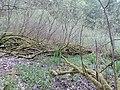 Salix cinerea kz15.jpg