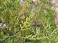 Salix exigua Wierzba 2016-05-02 01.jpg