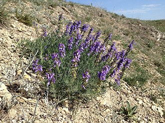 Salvia jurisicii Salvia jurisicii in its native habitat.jpg