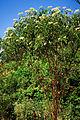 Sambucus nigra ssp canadensis 1120588.jpg