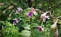 San Jose Orchid Epidendrum pseudoschumannianum - Flickr - gailhampshire (3).jpg
