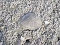 Sand drapes over bivalve shells in backbeach overwash channel (Cayo Costa Island, Florida, USA) 1 (26335761535).jpg